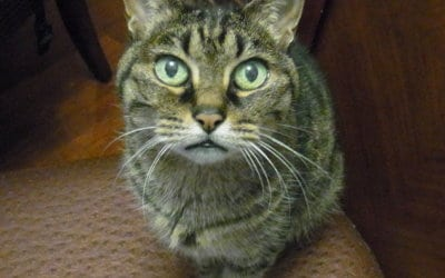 Ageing & Cognitive Dysfunction in Cats – How to Help