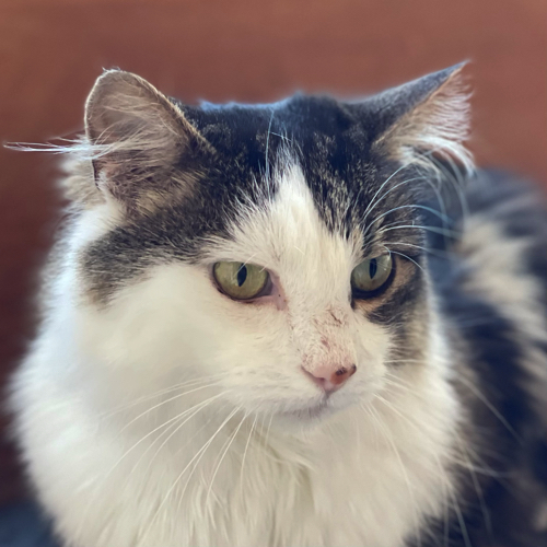 close up of a tabby and white long haired cat